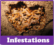 Infestations